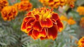 Una flor anaranjada Imagen de archivo