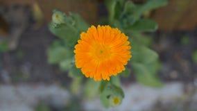 Una flor anaranjada Foto de archivo libre de regalías