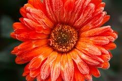 Una flor anaranjada brillante del calendula contra un fondo de hojas verdes se cubre con escarcha al principio del invierno, cier Imagen de archivo libre de regalías
