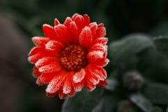 Una flor anaranjada brillante del calendula contra un fondo de hojas verdes se cubre con escarcha al principio del invierno, cier Fotos de archivo libres de regalías