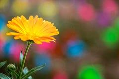 Una flor anaranjada de los officinalis ( del Calendula; Pote Marigold) fotos de archivo libres de regalías