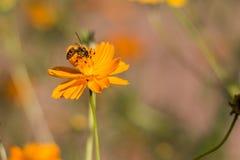 Una flor anaranjada del cosmos con una abeja Foto de archivo libre de regalías