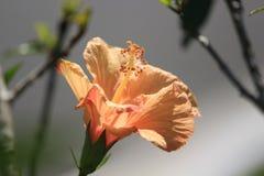 Una flor anaranjada del hibisco en la naturaleza fotos de archivo
