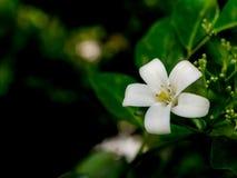 Una flor anaranjada del jazmín (paniculata de Murraya) imágenes de archivo libres de regalías