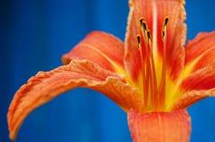 Una flor anaranjada en un fondo del azul del contraste Lirio anaranjado Fotografía de archivo