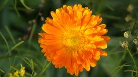 Una flor anaranjada floreciente hermosa pegó por los rayos del sol poniente fotografía de archivo libre de regalías