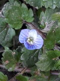 Una flor azul imagen de archivo