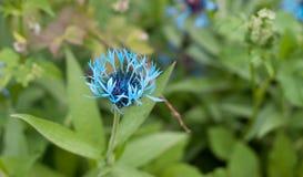 Una flor azul hermosa en el prado imagen de archivo libre de regalías
