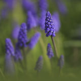 Una flor bastante púrpura de la primavera fotografía de archivo
