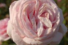 Una flor blanca con una indirecta del rosa foto de archivo libre de regalías