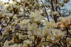 Una flor blanca de la magnolia foto de archivo libre de regalías