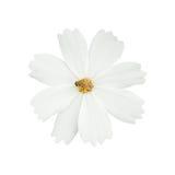 una flor blanca del cosmos con la abeja aislada en blanco Imagen de archivo libre de regalías