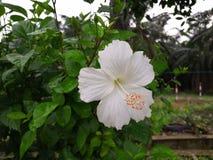 Una flor blanca del hibisco en Malasia fotografía de archivo libre de regalías