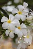 Una flor blanca del manojo. Imagenes de archivo