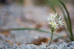 Una flor blanca en la floración en la primavera imagen de archivo