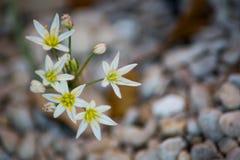 Una flor blanca en la floración en la primavera imagen de archivo libre de regalías