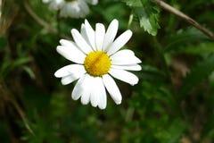 Una flor blanca en una cama de flores imagen de archivo