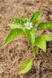Una flor blanca florece en una planta de la pimienta imagen de archivo libre de regalías