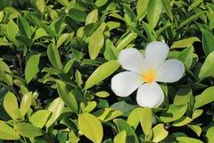 Una flor blanca pura del Plumeria en Bush verde claro en la luz del sol Fotografía de archivo