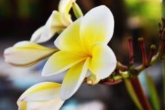 Una flor blanca y amarilla del plumeria en árbol en el jardín fotos de archivo libres de regalías