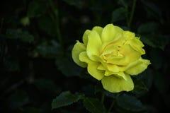 Una flor brillante de una rosa amarilla en follaje oscuro Imagenes de archivo