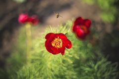 Una flor brillante roja y una abeja Foto de archivo