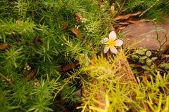 Una flor caida del Frangipani entre el verdor Imágenes de archivo libres de regalías