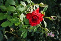Una flor color de rosa hermosa con los pétalos rojos con un tronco verde con las espinas claveteadas será una adición y una decor Foto de archivo