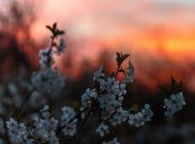 Una flor de cerezo en rayos de la puesta del sol fotografía de archivo libre de regalías