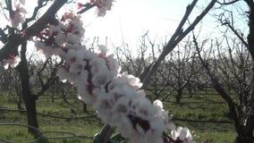 Una flor de cerezo recién nacida con instinto