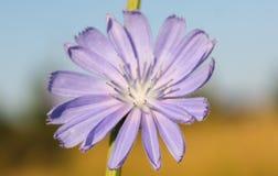 Una flor de cierre ordinario de la achicoria para arriba imagen de archivo