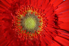 Una flor de Gerber Fotos de archivo libres de regalías
