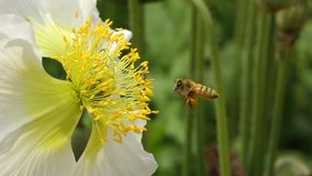 Una flor de la amapola blanca con la abeja