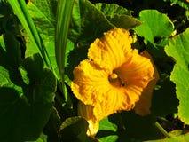 Una flor de la calabaza Fotos de archivo