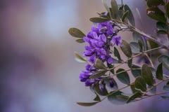 Una flor de la lavanda en la floración en la primavera imagen de archivo libre de regalías