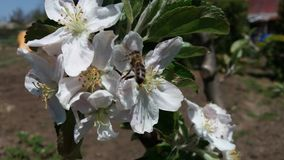 Una flor de la manzana y una abeja Imagenes de archivo