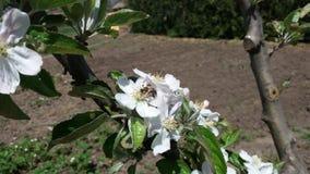 Una flor de la manzana y una abeja Fotografía de archivo