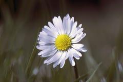 Una flor de la margarita Imagenes de archivo