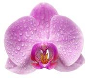 Una flor de la orquídea Fotografía de archivo libre de regalías
