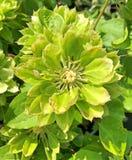 Una flor de la pasión del verde de la clemátide Imagen de archivo libre de regalías