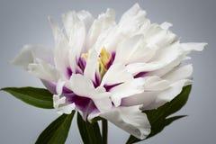 Una flor de la peonía imagenes de archivo