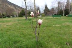 Una flor de la pre-primavera contra la perspectiva del complejo Rupite del monasterio imágenes de archivo libres de regalías