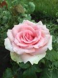 Una flor de la rosa Imagen de archivo