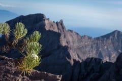 Una flor de las edelweiss o conocido como flor eterna Raung es el más desafiador de los rastros de la montaña de todo el Java, ta foto de archivo libre de regalías