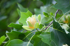 Una flor de Liriodendron del árbol de tulipán en una rama Imagen de archivo
