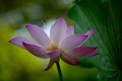 Una flor de loto Foto de archivo