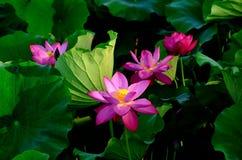 Una flor de loto Fotografía de archivo libre de regalías