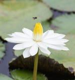 Una flor de loto blanco y una abeja del vuelo Fotografía de archivo libre de regalías