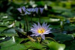 Una flor de loto hermosa que flota en una charca Fotos de archivo