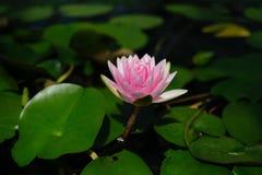 Una flor de loto hermosa que flota en una charca Fotografía de archivo
